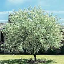 russian olive tree maoi qualites botanicals mycotopia