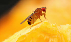 How To Kill Fruit Flies And Prevent Them Too Housewife HowTos - Small flies in kitchen sink