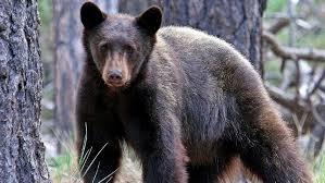Tennessee wildlife images Local bear sightings on the rise in east tennessee wtvc jpg