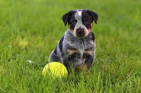 blue heeler x australian shepherd blue heeler blue heeler pet insurance u0026 dog breed