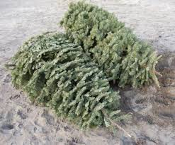 live christmas trees city of springfield offers ideas for disposing of live christmas