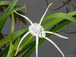 native plants of texas plant of the month texas spiderlily native plant society of