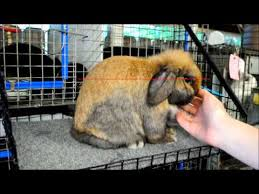Kims Rabbit Hutch Posing Holland Lops Youtube Rabbitry What Pet Rabbit Owners