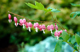 Bleeding Hearts Flowers Lamprocapnos Spectabilis Bleeding Heart Rhs Gardening