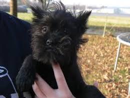 affenpinscher in texas affenpinscher puppies in arkansas