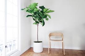 figs delivery fiddle leaf fig tree plant delivery in the san francisco and los