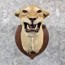 lion heads for sale lion shoulder mount 11648 the taxidermy store