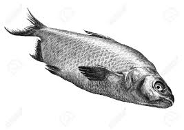 drawing realistic fishes fish drawings artist forum drawing