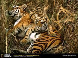 bengal tiger picture bengal tiger desktop wallpaper free