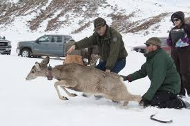 catastrophic deer die off causes concern offers opportunity
