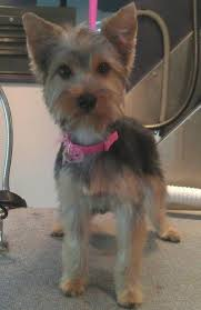 yorkie haircuts for a silky coat silky terrier short haircut silky get free printable hairstyle