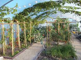 greenhouse for vegetable garden polytunnel in mid october the tomatoes are looking a bit straggly