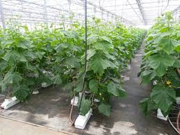 Umbrella Plant Diseases - consider growing cukes umbrella style growing for market
