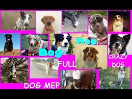 australian shepherd yoga video australian shepherd dog talent video funnydog tv