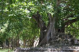 fantastic trees at el meco picture of el meco ruins