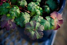 high heat plants 40 new favorite plants for water wise sacramento area landscapes