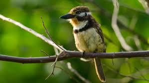 file hypnelus ruficollis russet throated puffbird jpg