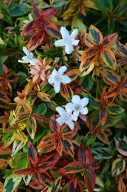 frost proof gardenia evergreen shrubs bushes u0026 shrubs garden