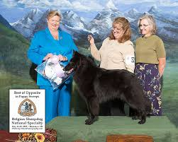 belgian shepherd national specialty our girls u2013 verseau belgian sheepdogs