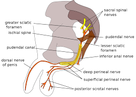 Male Anatomy Perineum Perineal Nerve Wikipedia