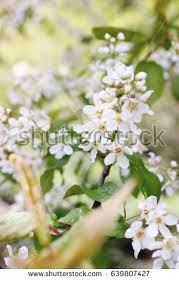 blooming tiny tree stock images royalty free images vectors