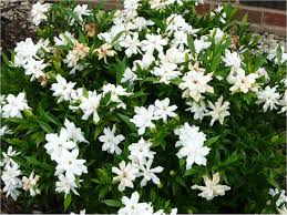 Fragrant Bedding Plants Get It Growing Now Is Your Last Chance To Prune Fertilize Many