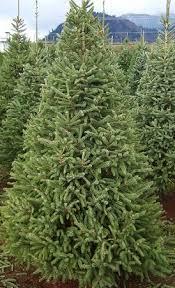 white spruce bengtson u0027s u cut christmas trees
