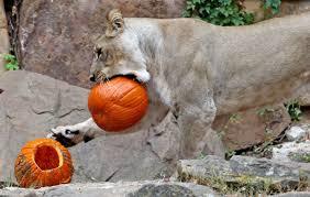 spirit halloween hanover pa precious animals get into the halloween spirit
