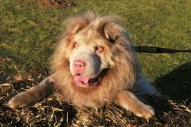 lion dogs is it a dog or a lion murphy steals hearts with his