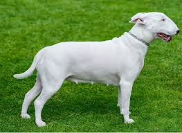 american pitbull terrier traits 10 dog breeds mistaken for pit bulls simply for dogs