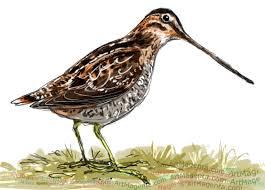 birds common snipe
