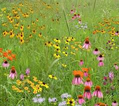 planting native grass seed mix 103 northern short grass meadow mix roundstone native seed
