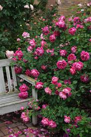 Rose Garden Layout by 12 Tips For Designing Beautiful Rose Beds Hgtv