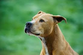american pit bull terrier history history of the american pit bull terrier