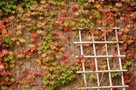 ivy plants near walls u2013 is boston ivy growing up brick surfaces ok