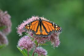 monarch butterfly migration video for kids