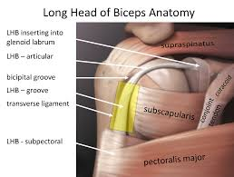 How To Palpate Subscapularis Long Head Of Biceps Cambridge Shoulder