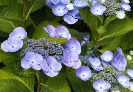 Dried Hydrangeas What Are The Best Tips For Drying Hydrangeas With Pictures