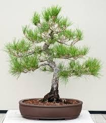 a history of tiny trees longwood gardens