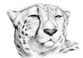 coloring pages marvelous cheetah face drawing hqdefault coloring