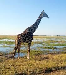 safari destinations chobe land of the giraffes
