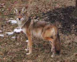 Coyote In My Backyard Wildlife Management U0026 Animal Control West Chester Township Oh