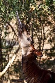 the longest tongues in the animal kingdom u2013 zoonooz