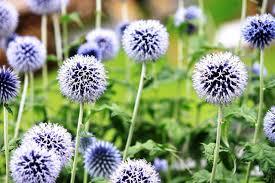 Low Maintenance Plants And Flowers - echinops ritro globe thistle