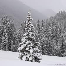 snowy tree san juan mountains colorado mountain photography