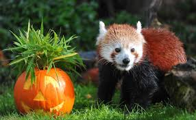 animals at chester zoo get a halloween pumpkin treat youtube
