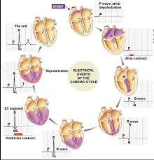 Anatomy Of The Heart Lab 749 Best Nursing Images On Pinterest Nursing Schools Nursing