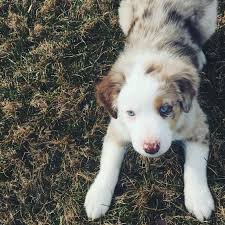 4 week old australian shepherd nash the cutest little red merle australian shepherd puppy at 8