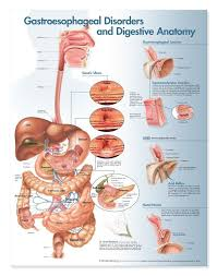 gastroesophageal disorders and digestive anatomy anatomical chart