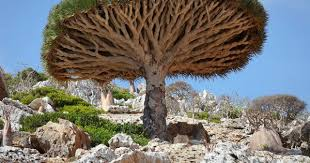 6 of the world s most endangered trees also look the strangest